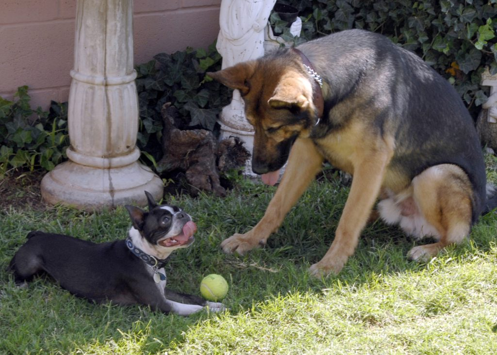 Alsatian and French Bulldog playing with tennis ball